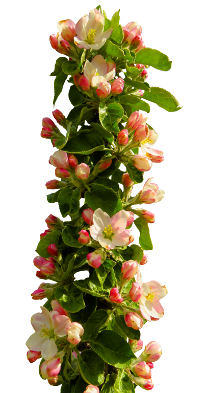 Download flower free image. Flowers png transparent black and white stock