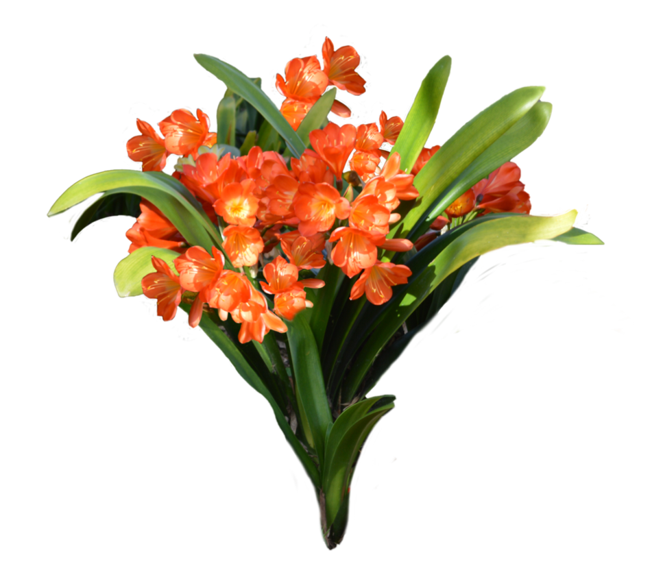 Orange flowers png. Free to use by