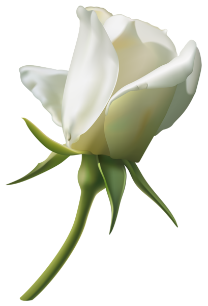 Flower bud png. Beautiful white rose clipart