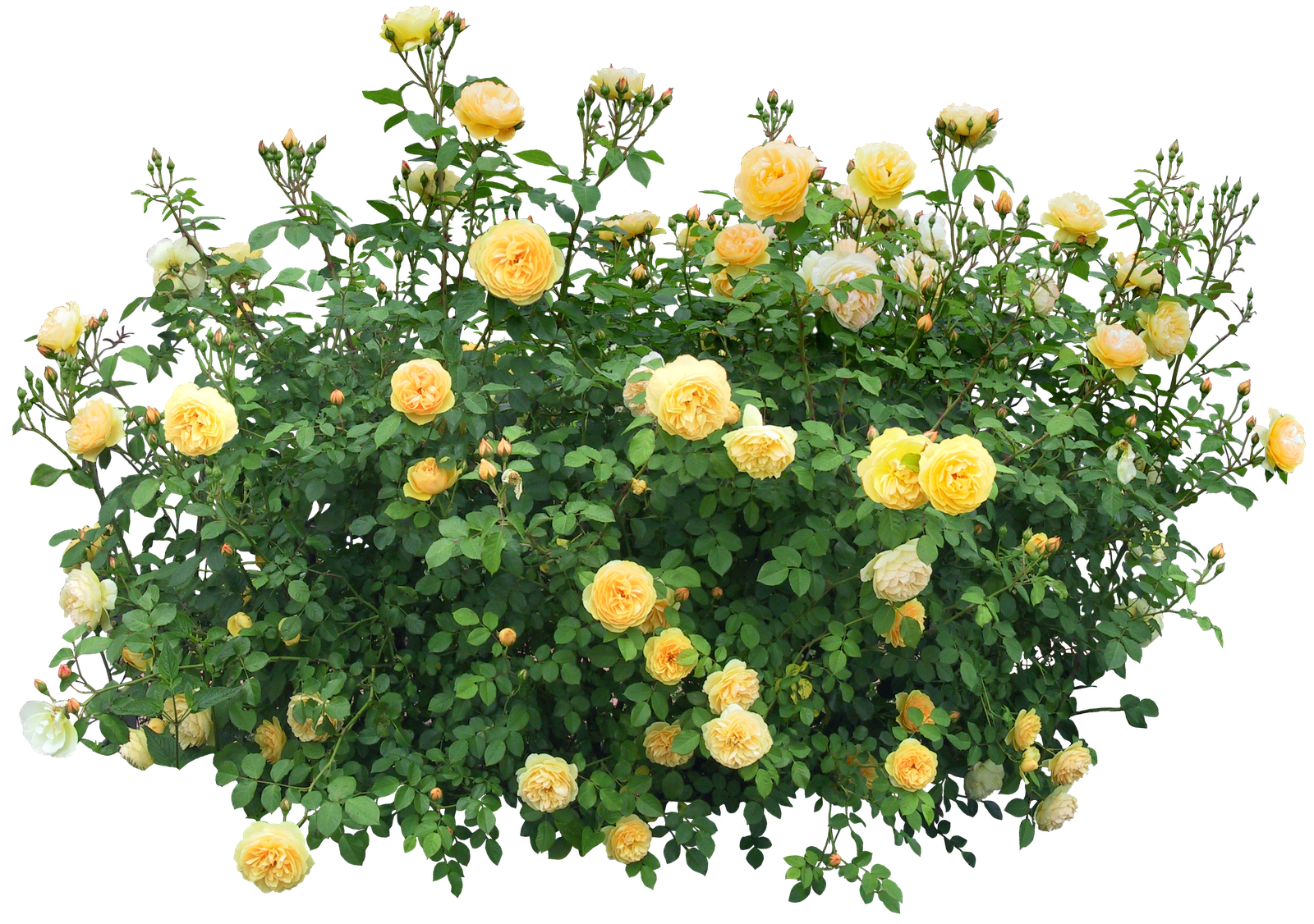 Flower plants png. Bushes images free download