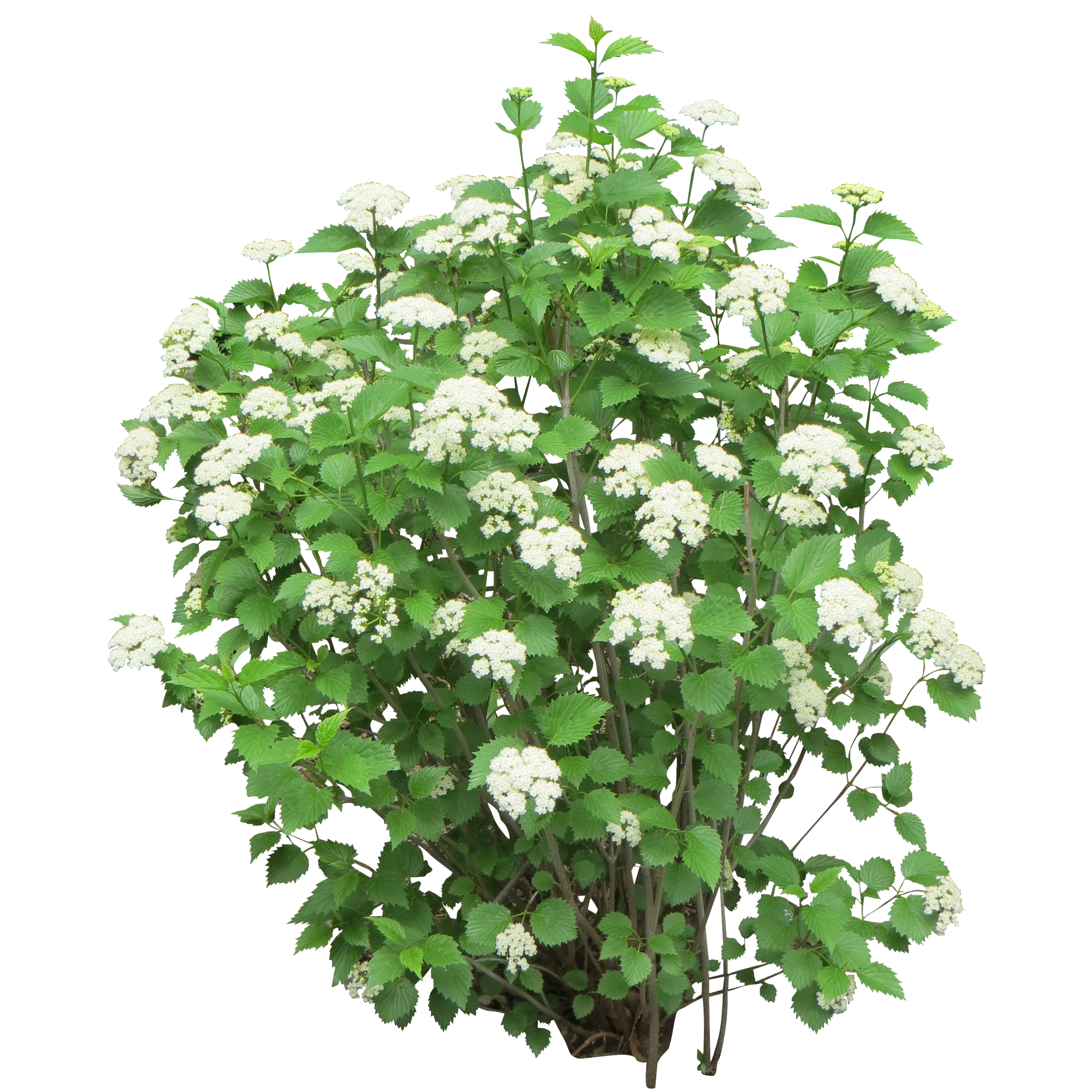 flowering shrub png