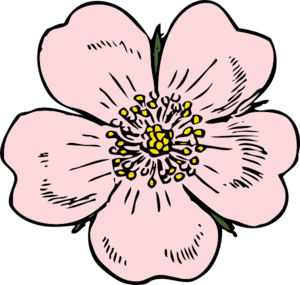 Blossom drawing apple. Wild rose bloom clip