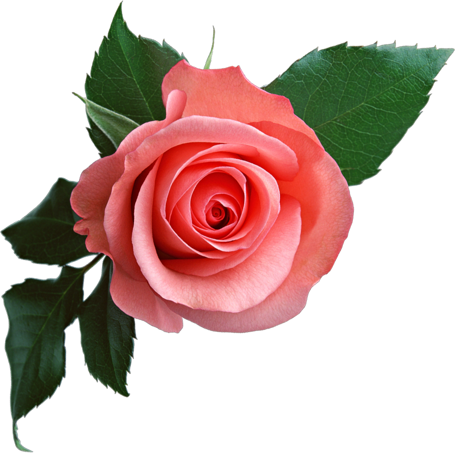 Rose flower png. Pink clipart