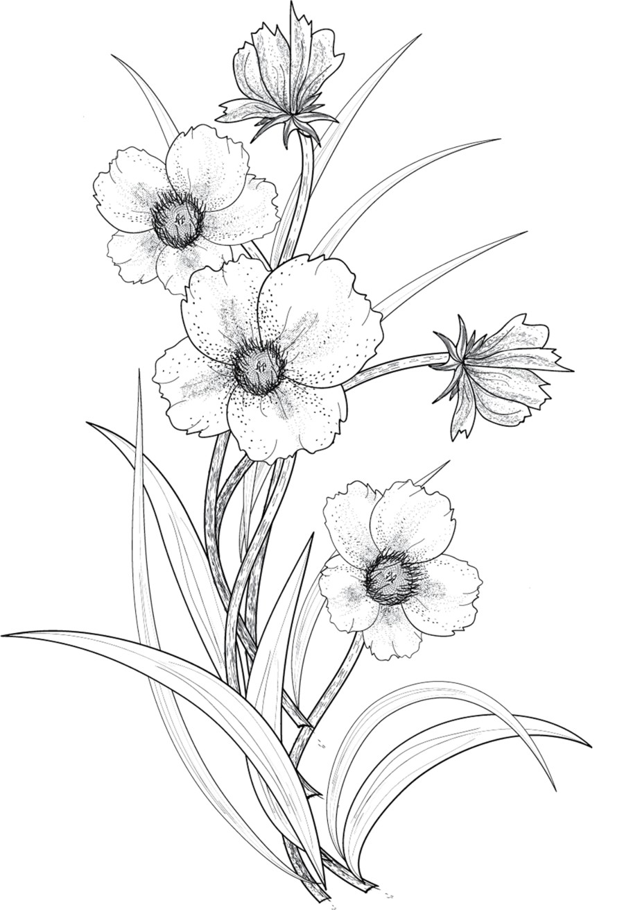 Flowers png by roula. Narcissus drawing sad svg black and white