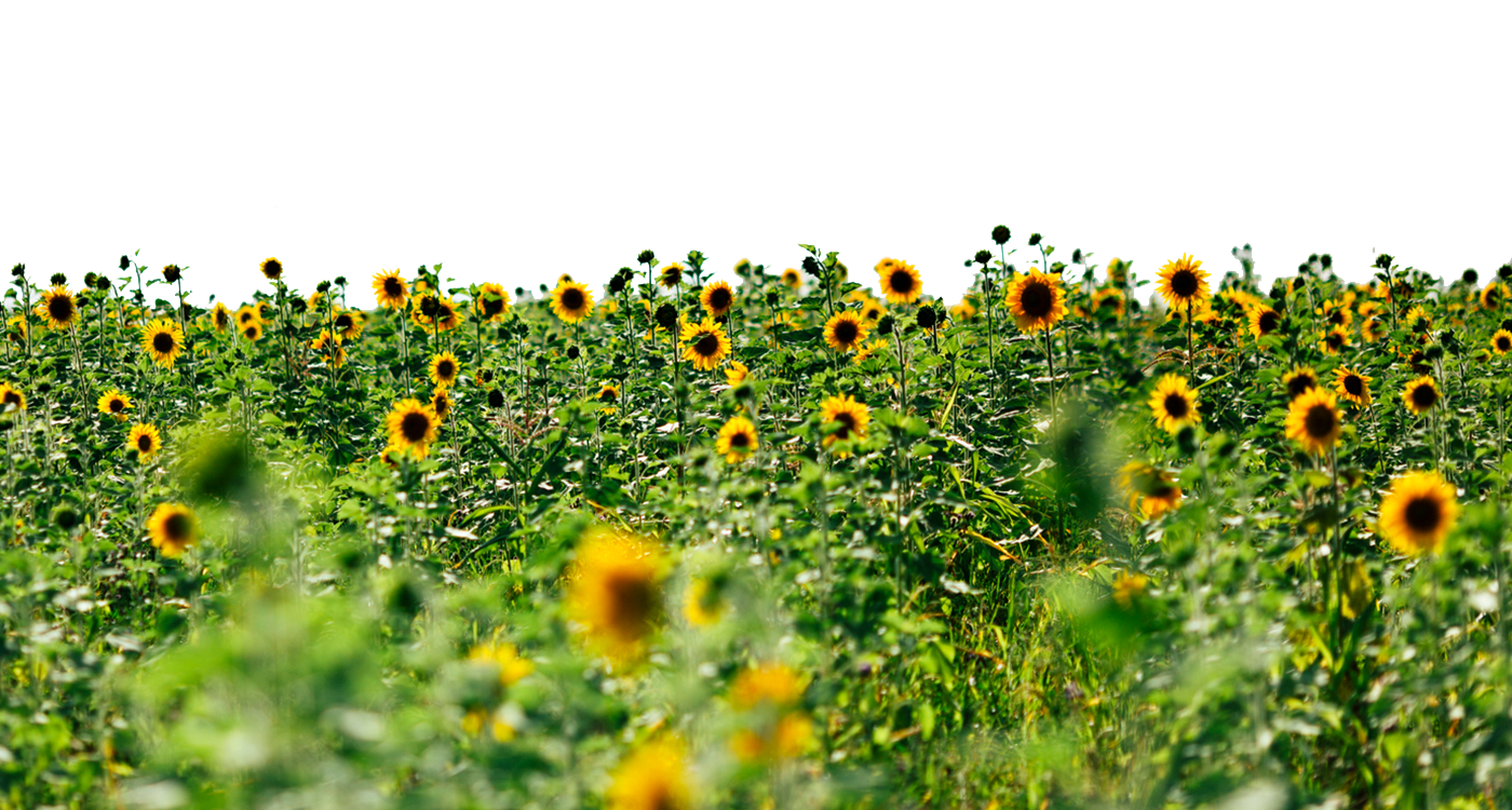 Flower field png. Sunflowers transparent images all