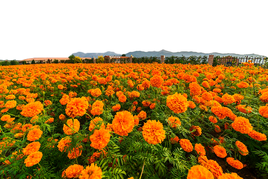 Flower field png. Mexican marigold calendula officinalis
