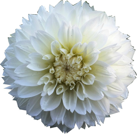 Flower overlay png. White art resources episode