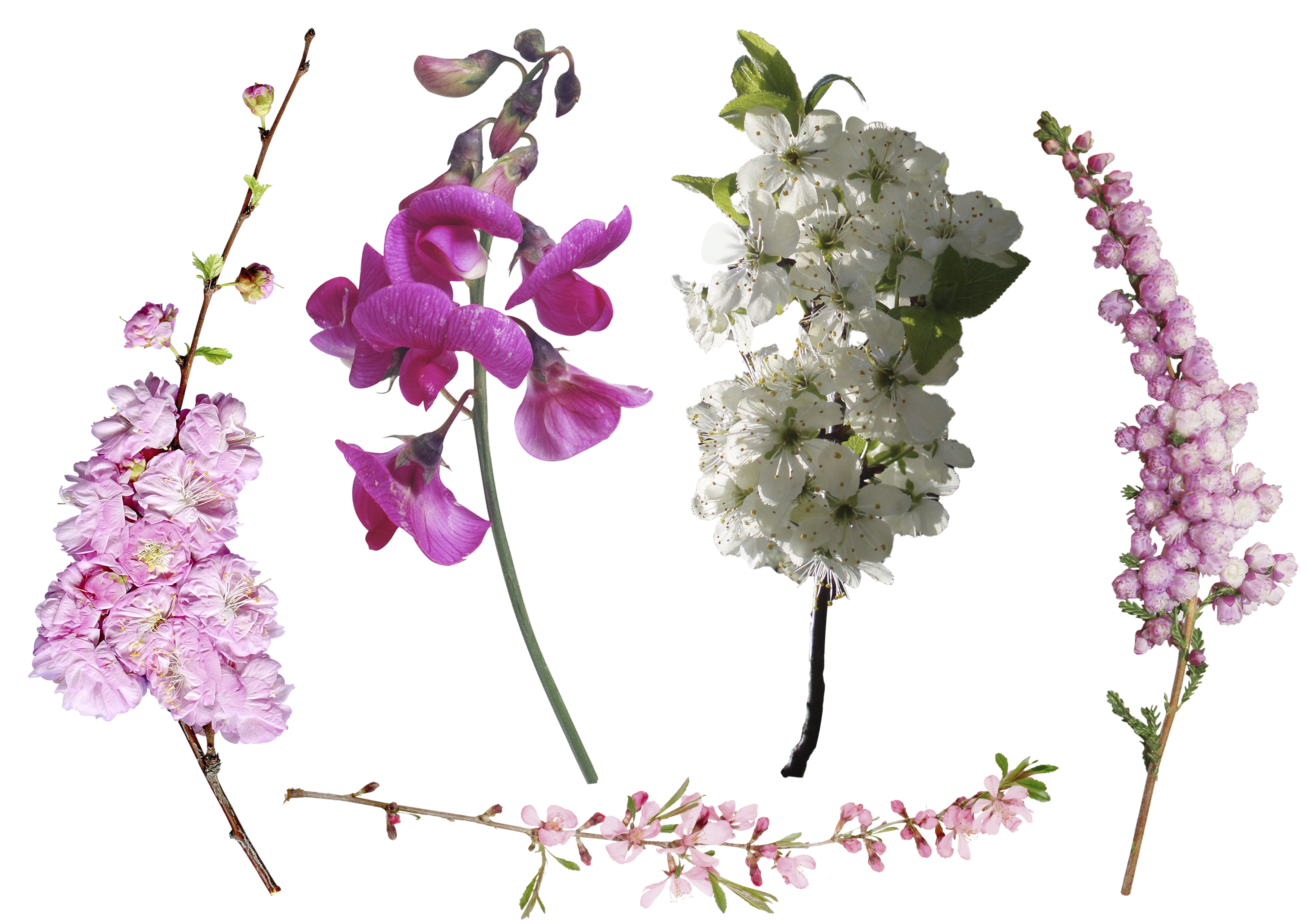 Flower overlay png. Petal foreground tree transprent