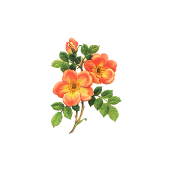 Cr to owner shared. Flower overlays png png free
