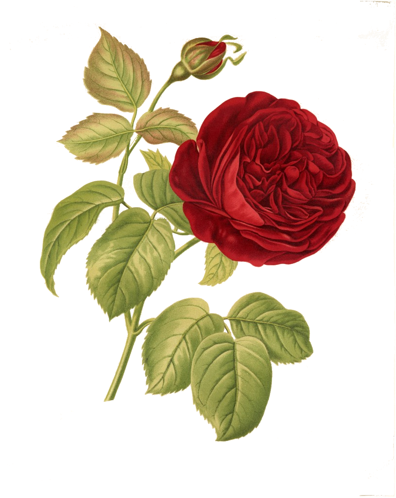 Flower overlays png. Rose transparency overlay for