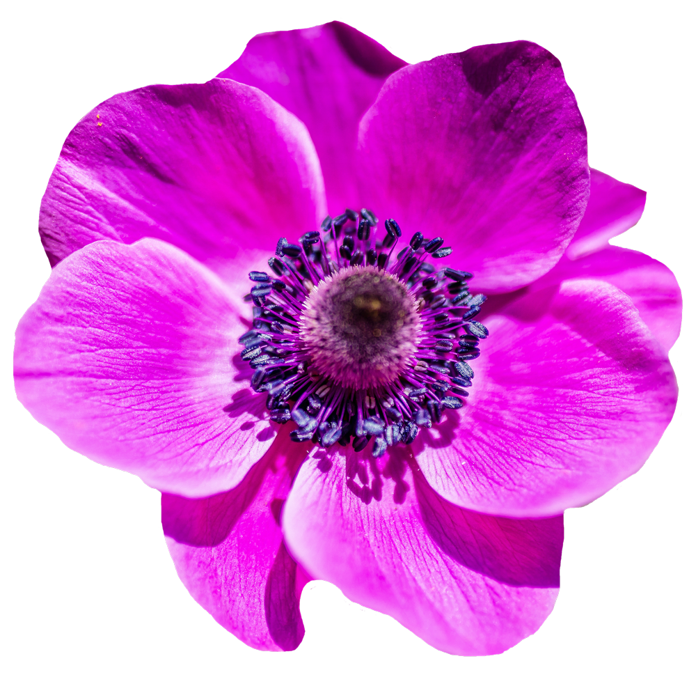 Flower .png. Flowers png images pngpix