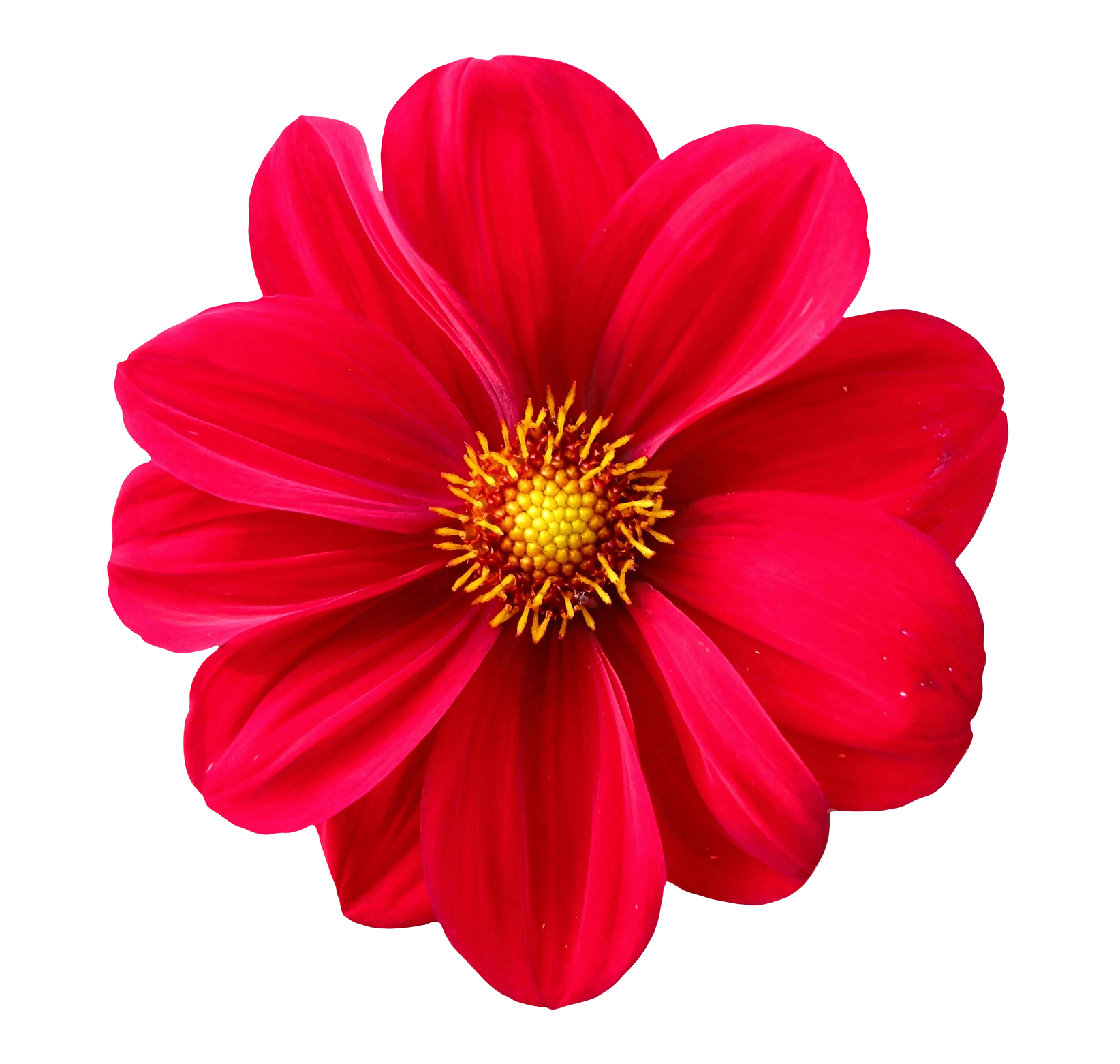 Flower png transparent. Images pluspng dahlia image