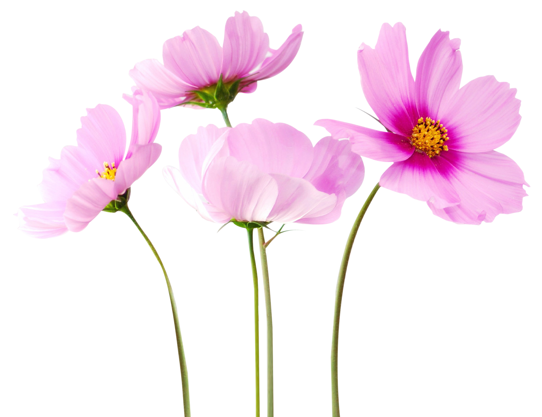 Flower png transparent. Colorful flowers image mart