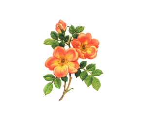 Flowers tumblr png. Images about flower