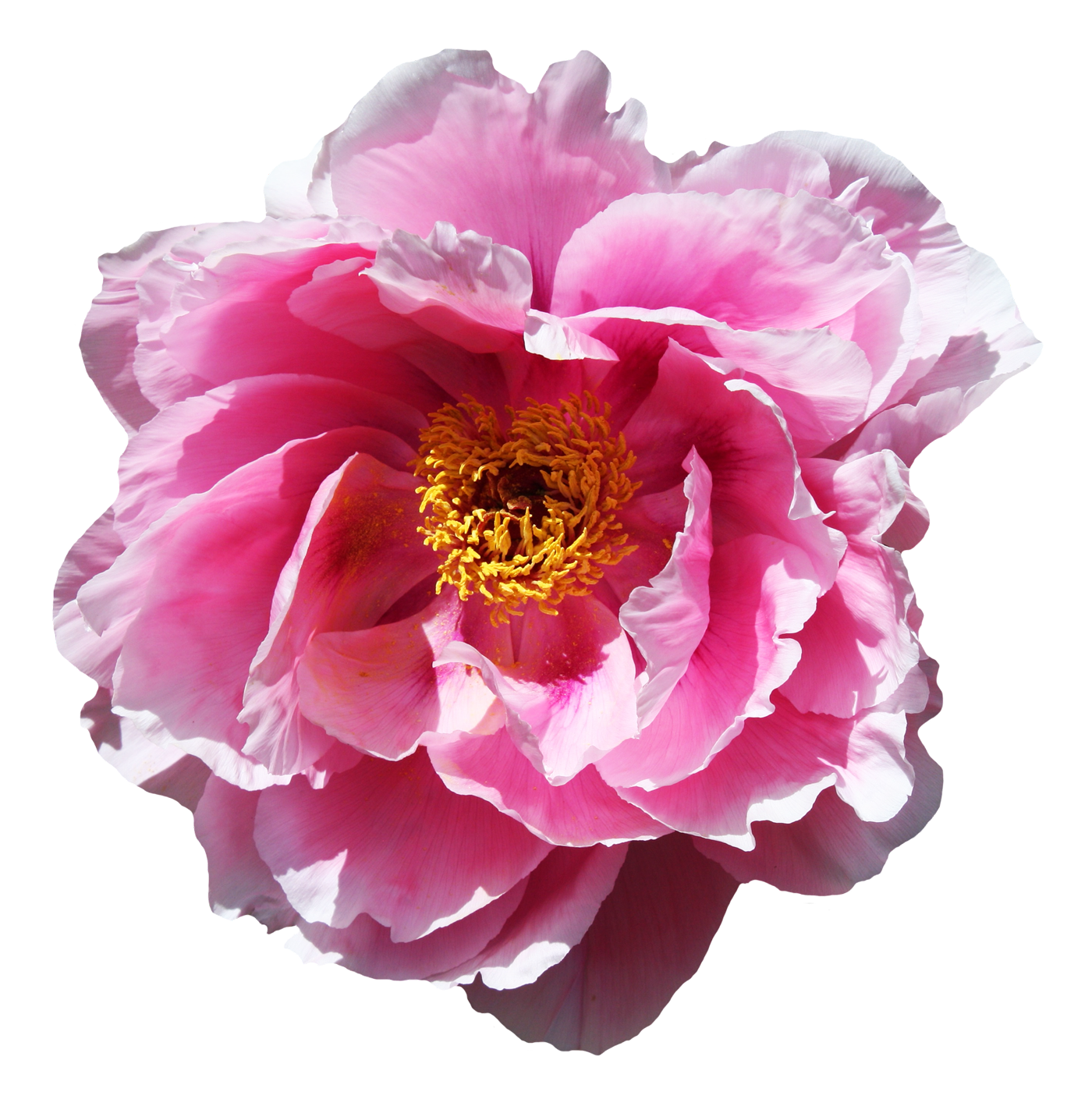 Flower .png. Rose png images pngpix