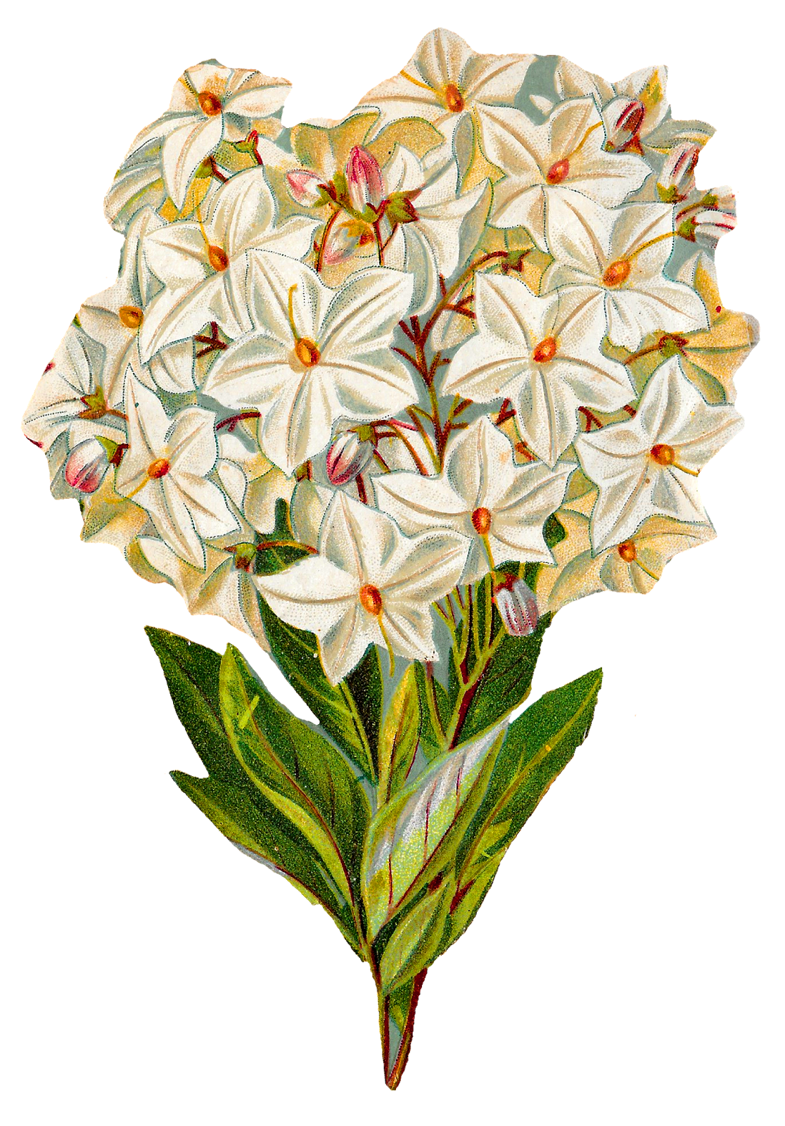Flower print png. Antique images free hydrangea