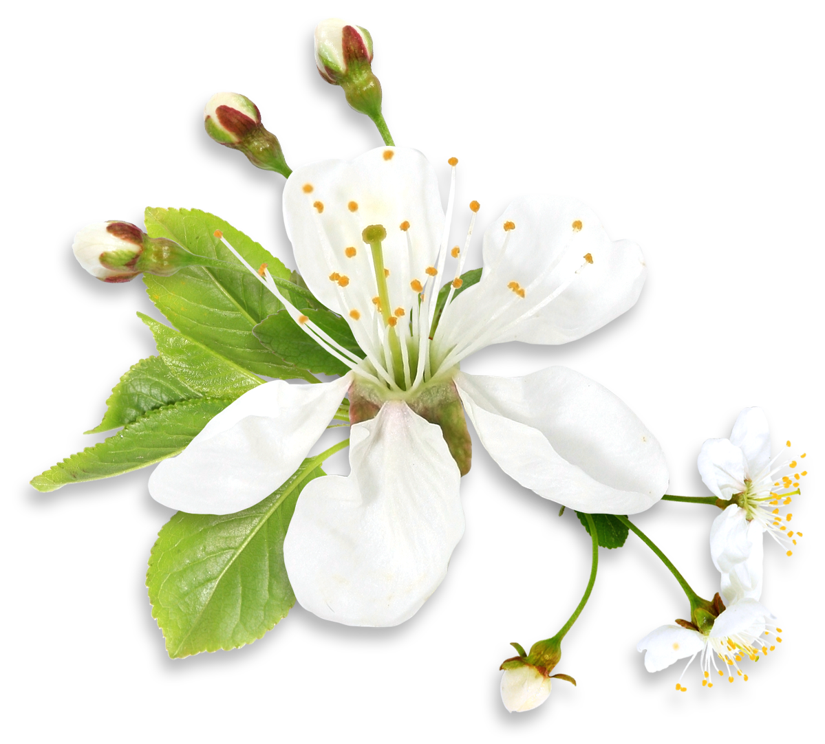 Spring flowers png. White tree flower clipart