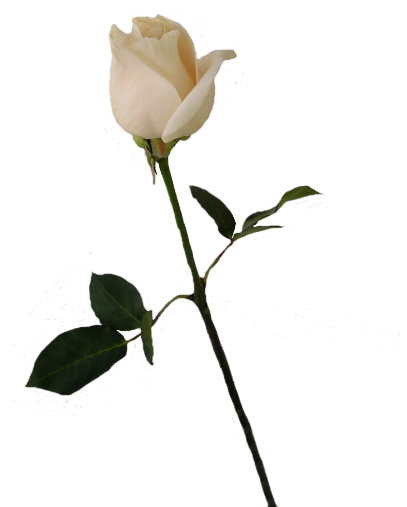 Flower stems png. Roses pngs