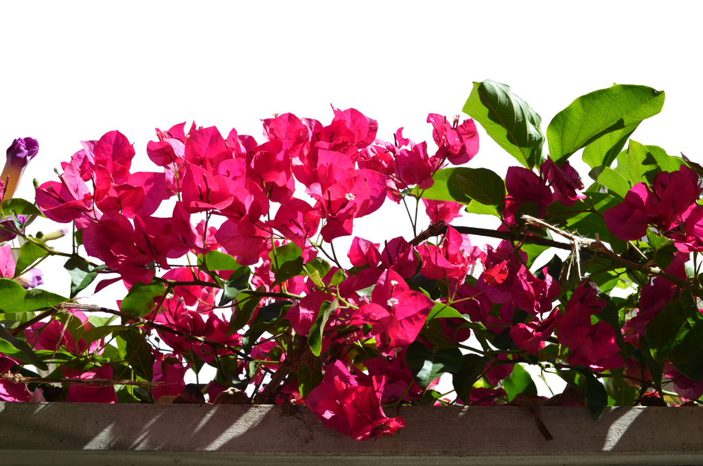 Flower stock png. Pink flowers photo dsc