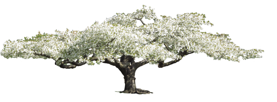 Flower tree png. Flowering by amalus on
