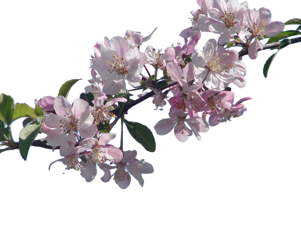 Flower trees png. Cherry blossom branch by