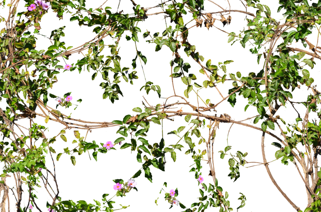 Flower vines png. Flowers growing on a