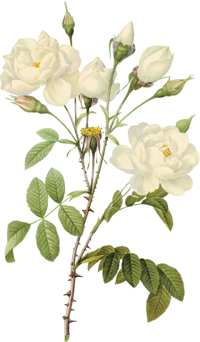 Flower white png. Image download site rose