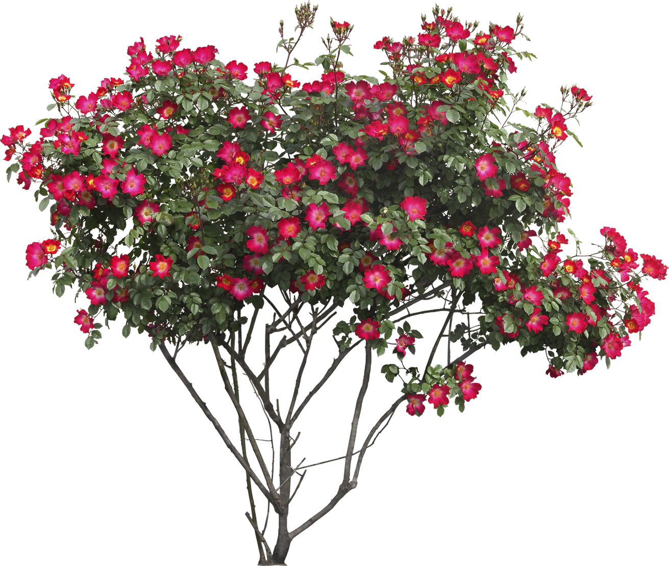 Flowering tree png. Bush with flowers image