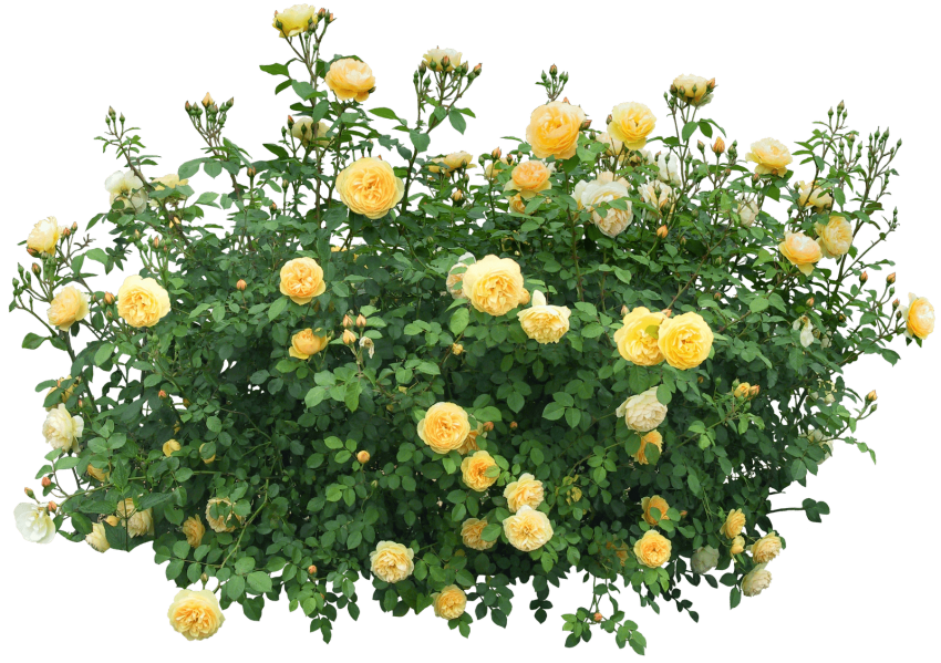 Flowers bushes png. Bush free images toppng