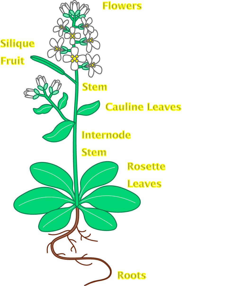 flowers clipart root