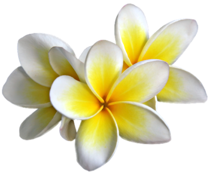 Plumeria image . Flowers png transparent background svg black and white library