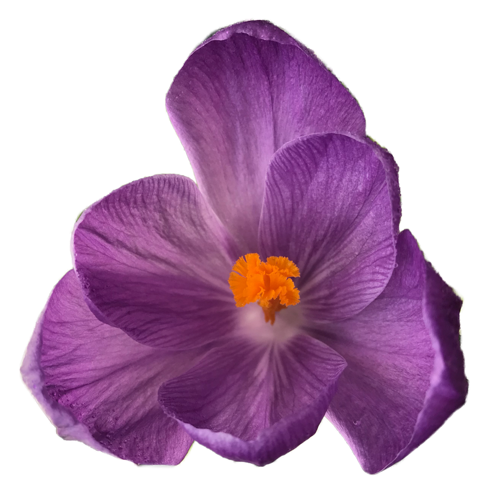Flowers tumblr png. Transparent crocus is a