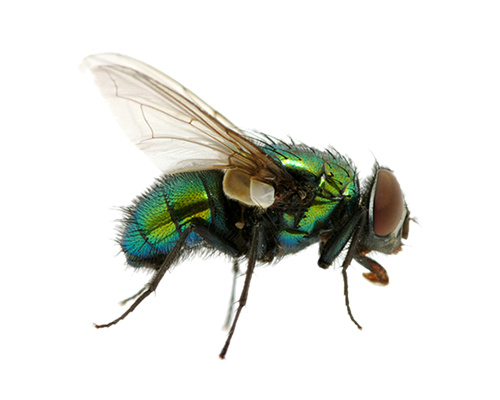 Fly flying png. Image free download pictures
