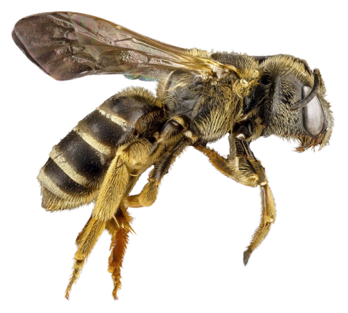 Bees transparent detailed. Bee png image pngpix