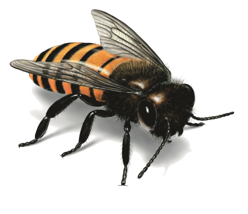 Flying bee png. Image free picture download