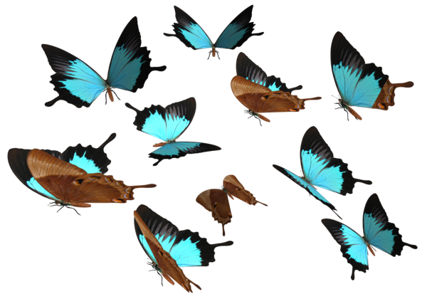 Flying butterflies png. Peacock royal butterfly by
