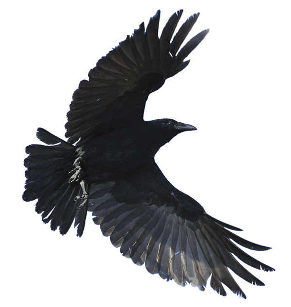 Flying crow png. Greeting card for sale