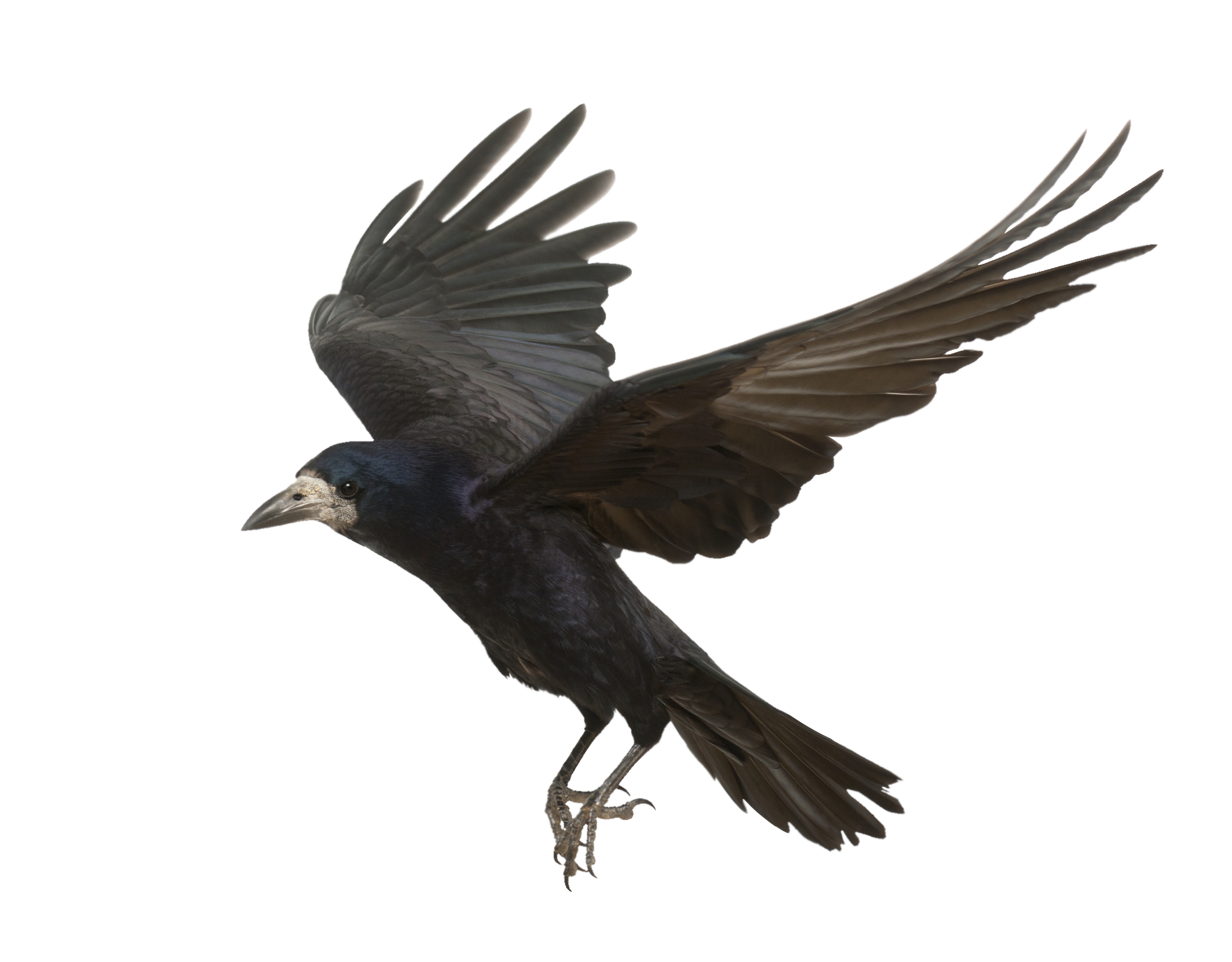 Flying crow png. Rook common raven bird