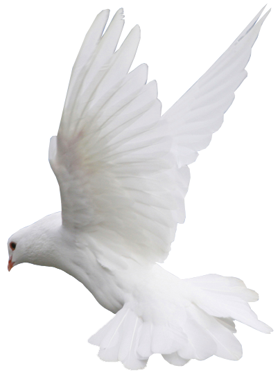 Doves flying png. White dove flight clipart