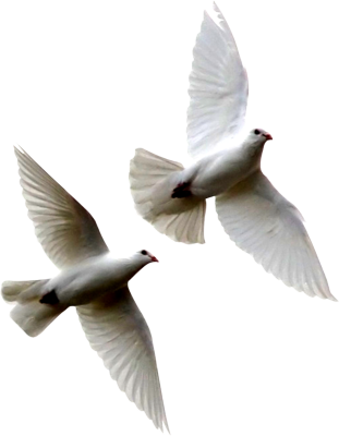 Doves flying png. Dove transparent pictures free