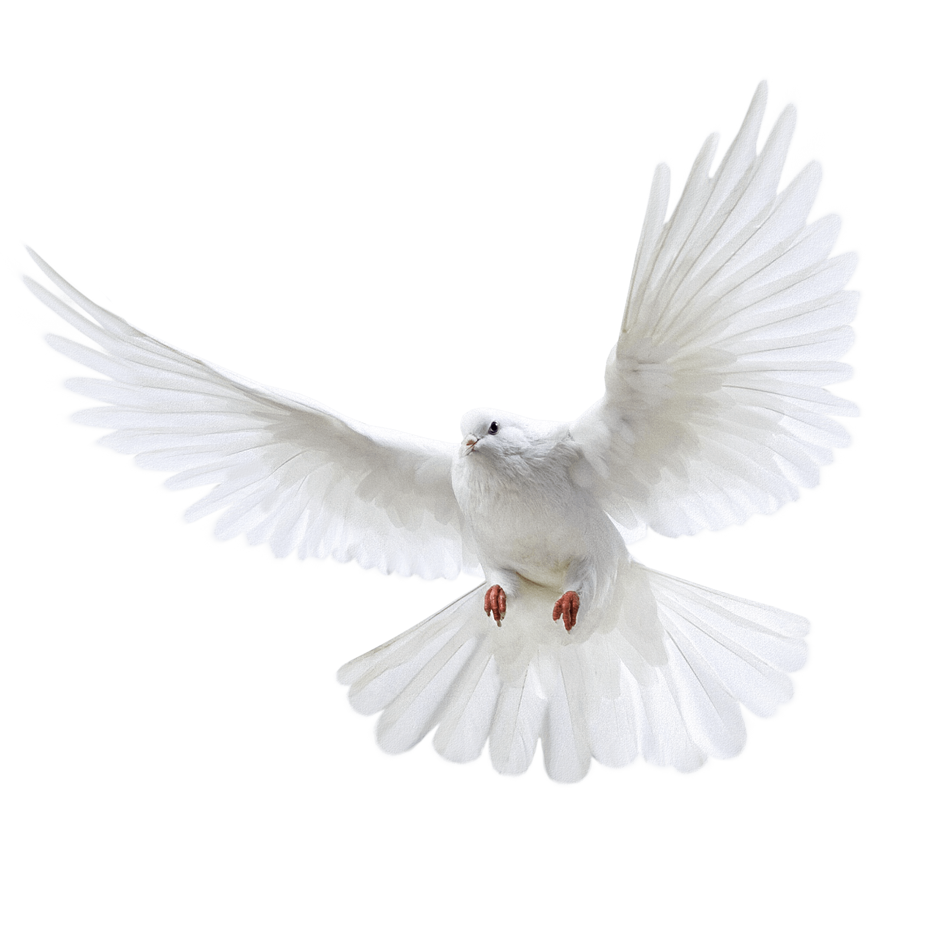Doves flying png. White pigeon image draw