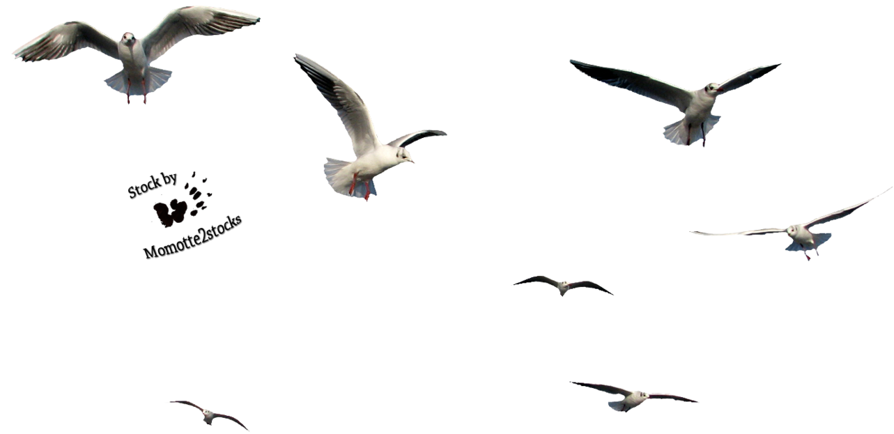 seagull flying png