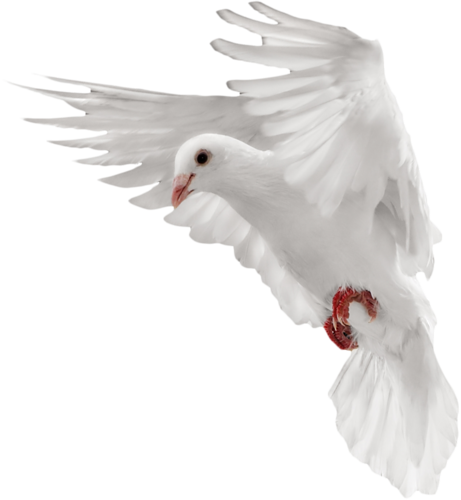 Dove png. Transparent pictures free icons