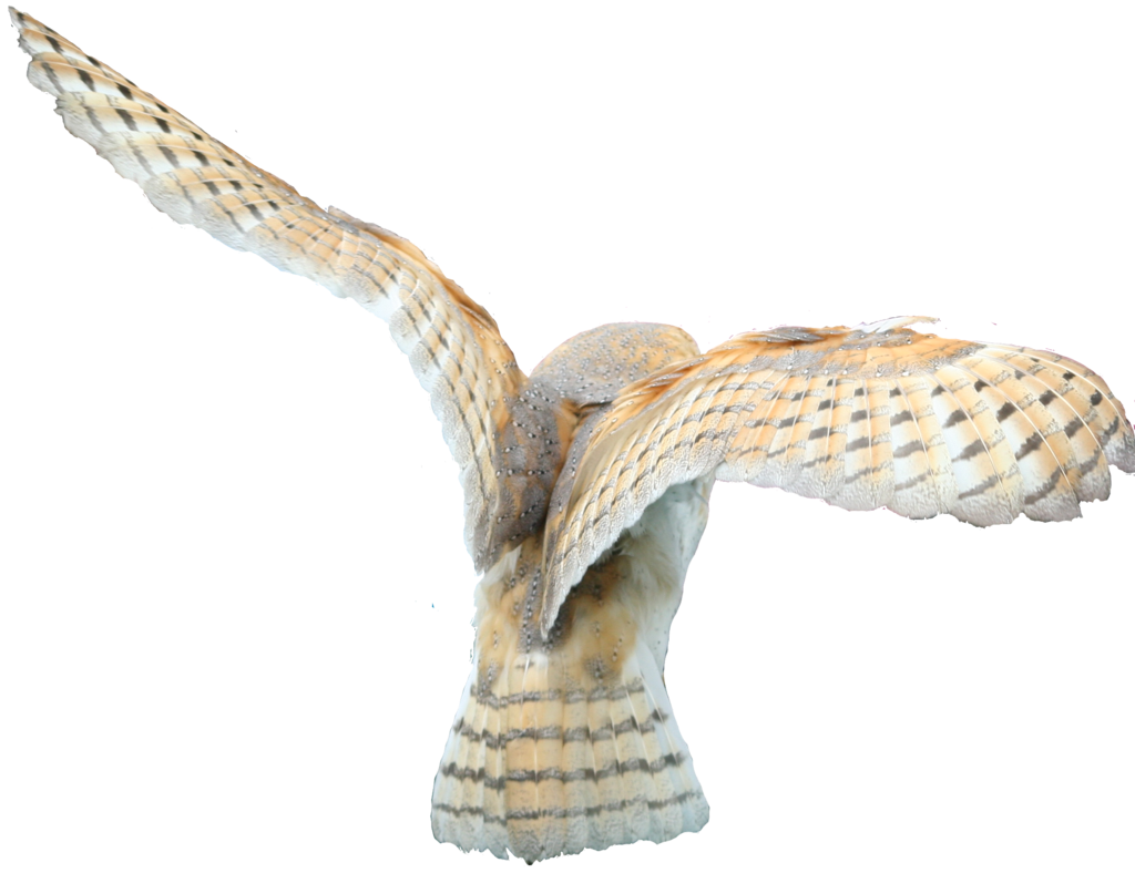 Flying owl png. Owls images free download