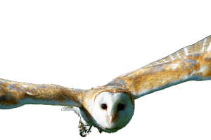 Flying owl png. Image related wallpapers