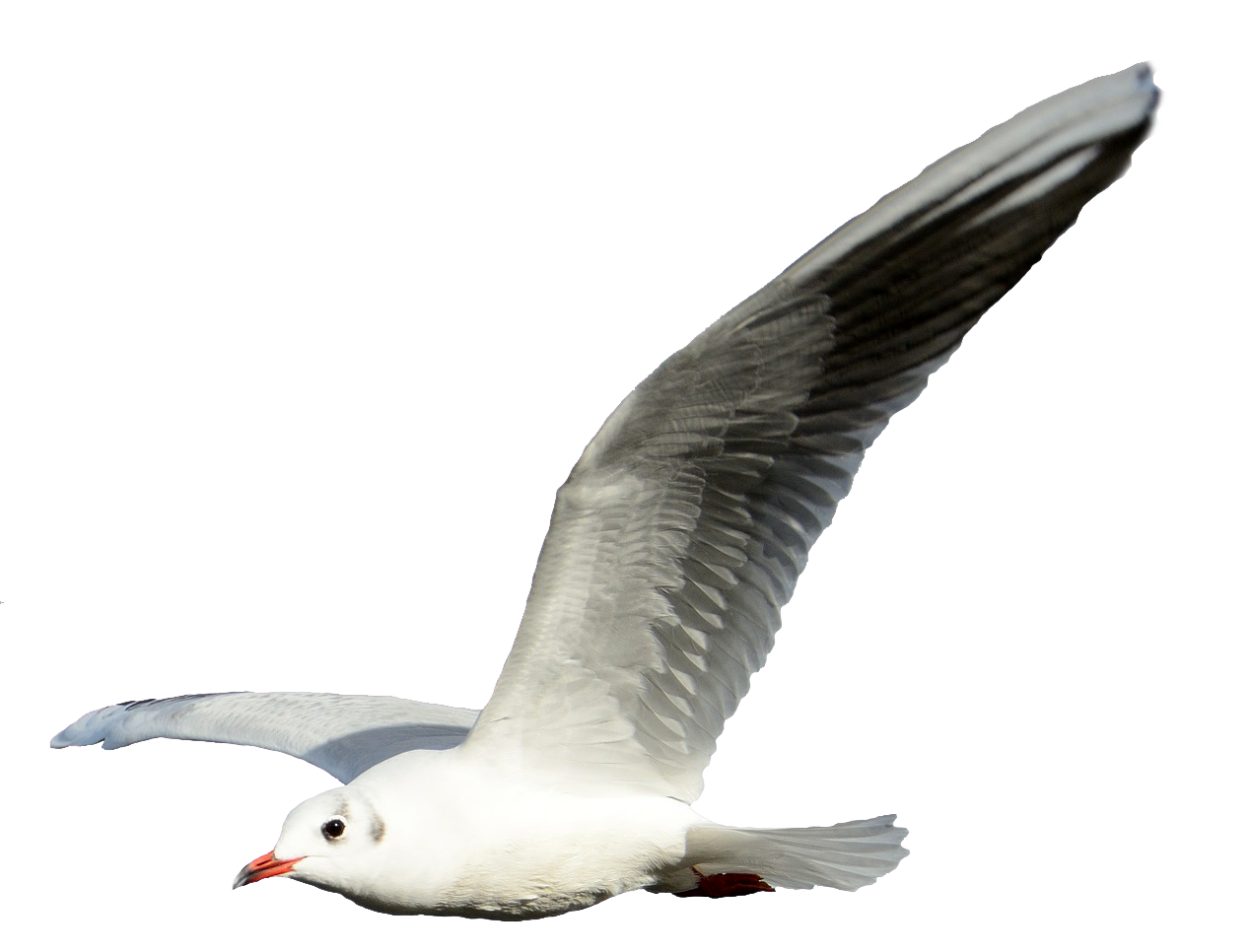 Photo. Flying seagull png banner library stock