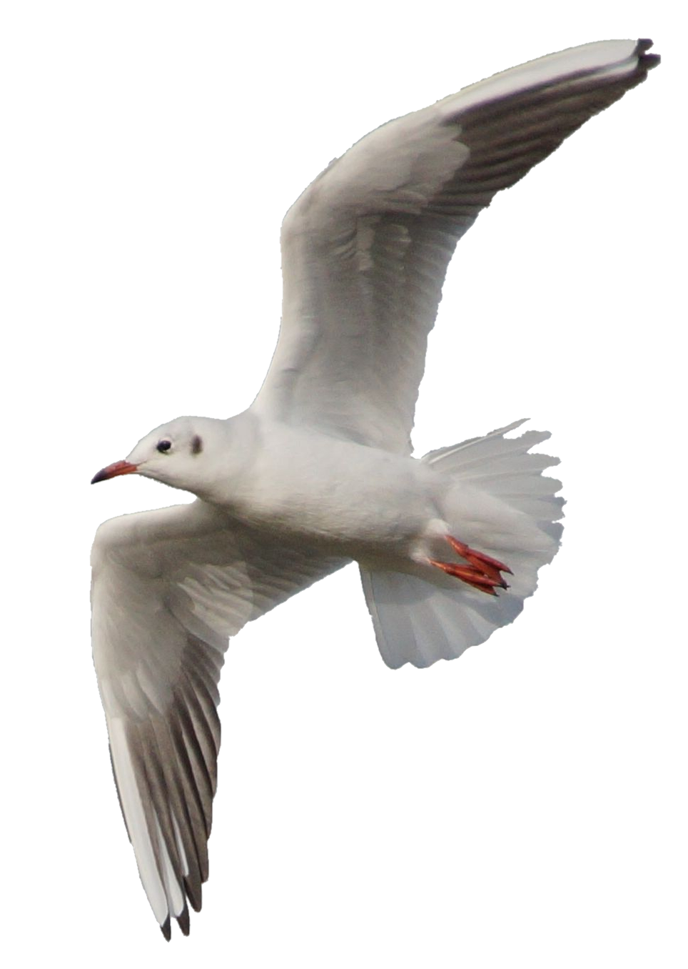Flying seagull png. Clear cut by astoko