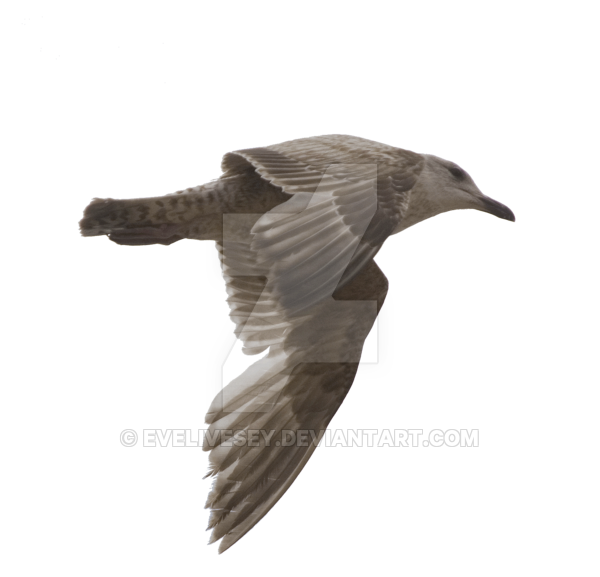 By evelivesey on deviantart. Flying seagull png banner royalty free stock