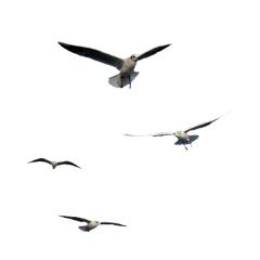 Flying seagull png. Popular and trending seagulls