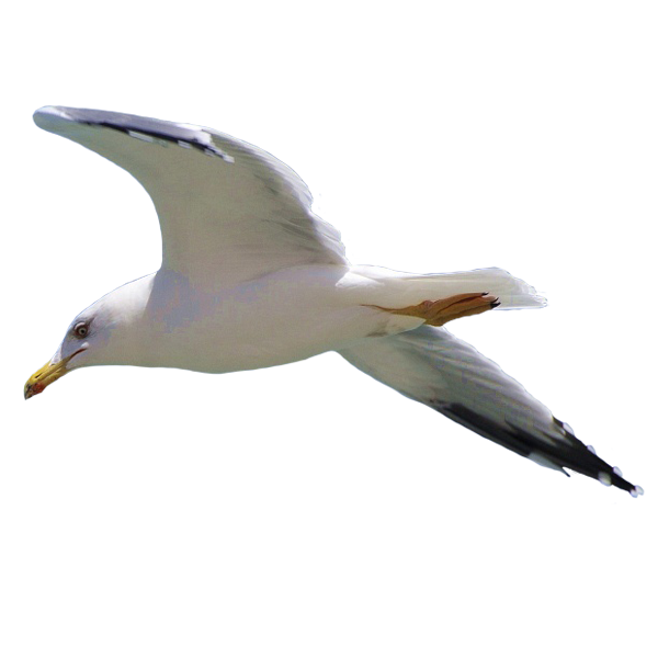 Gull images free download. Flying seagull png clipart free download
